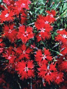 Гвоздика пышная Crimsonia, темно-красная (30 шт)