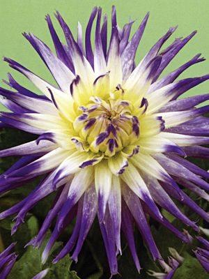 Жоржина кактусова Veritable (1 шт) - 1