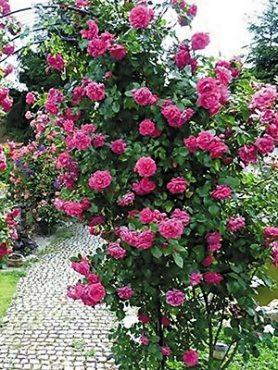 Роза в'юнка Laguna (1 шт)