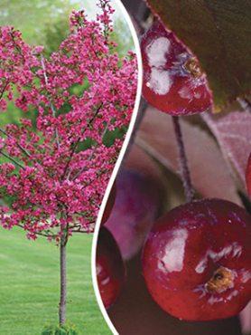 Яблоня декоративная Ola (1 шт)