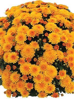 Хризантема дрібноквіткова низькоросла Branhalo (3 шт) - 1