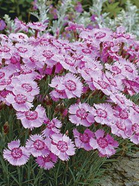 Гвоздика Альвуда Alpinus, розовая (0,1 г)
