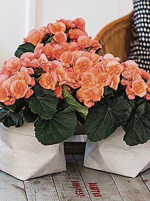 Бегонія красивоцветущая Heiley Peach (1шт) - 1