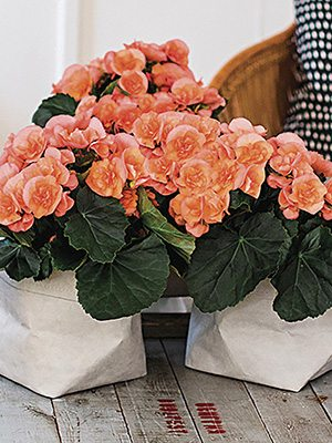 Бегония красивоцветущая Heiley Peach (1шт) - 1