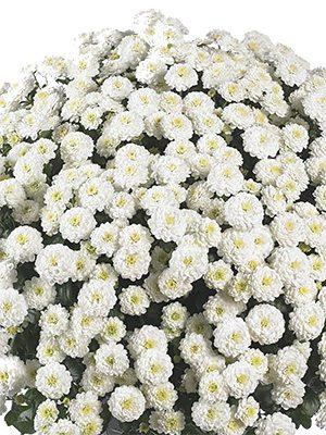 Хризантема мелкоцветковая низкорослая ZsaZsa White (3 шт) - 1