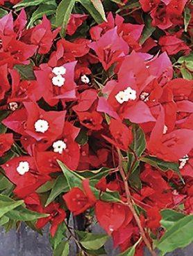 Бугенвиллея Vera Red (1 шт) осень