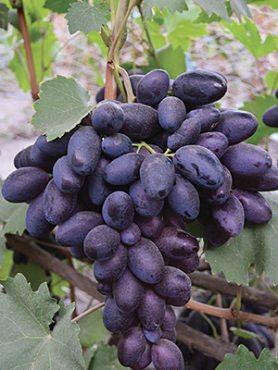 Виноград Велика(1 шт)