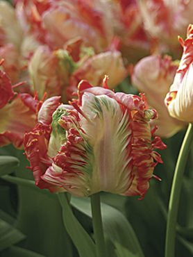 Тюльпаны Попугайные Apricot Parrot 10/11 (100 шт)