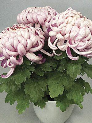 Хризантема срезочная Vienna Pink (3 шт) - 1
