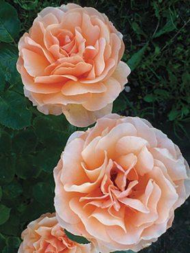 Роза чайно-гибридная Garden Glory (1 шт)