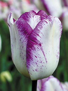 Тюльпани Тріумф Shirley 1112 (3 шт)