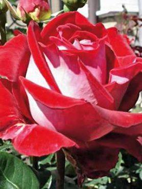 Роза чайно-гибридная Luxor (1 шт)