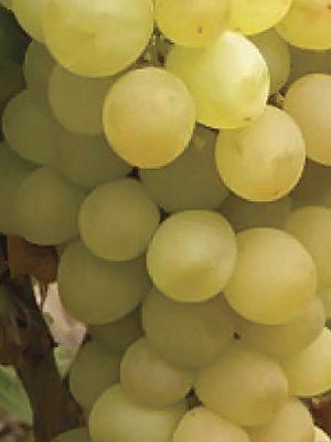 Виноград Дублянский (1 шт) - 1