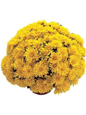 Хризантема мелкоцветковая низкорослая Precocita Gold (3 шт) - 1