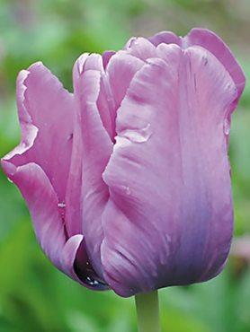 Тюльпаны Попугайные Blue Parrot 11/12 (3 шт)