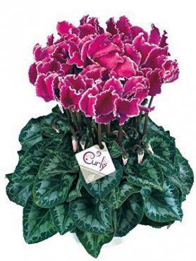 Цикламен крупноцветковый Halios Curly Violet Lisere F1 (1 шт)