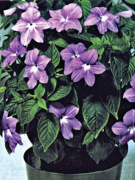 Броваллия красивая Синие колокольчики, сине-фиолетовая (10 шт)