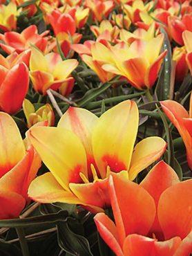 Тюльпаны Введенского Girlfriend 1011 (3 шт)