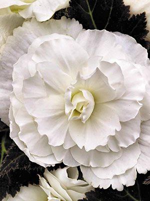 Бегония клубневая Nonstop Mocca White (6 шт) - 1