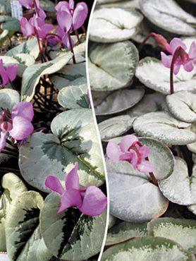 Цикламен косский Silver Leaf (1 шт)
