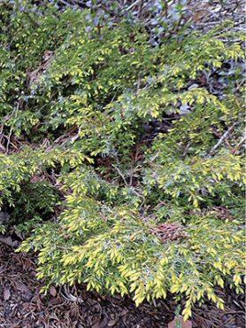 Можжевельник обыкновенный Depressa Aurea (1шт)