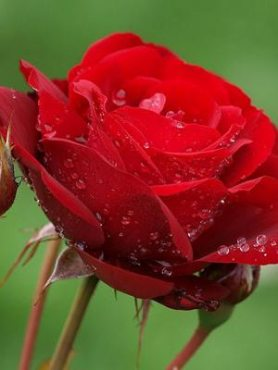 Роза флорибунда Lilli Marleen (1 шт)