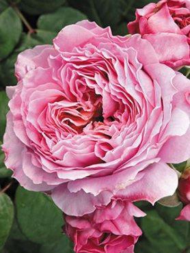 Роза чайно-гибридная Eisvogel (1 шт)