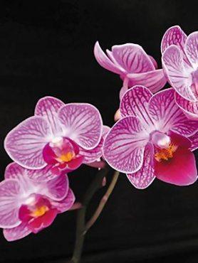 Фаленопсис гибридный Fairy Zhi Nu (1 шт)