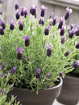 Лаванда стехадська Parfum Purple (3 шт)