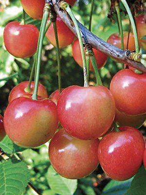 Черешня Приусадебная розовая (1 шт) - 1