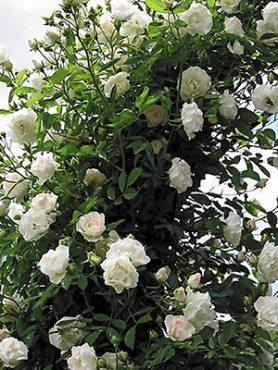 Роза плетистая Schwanensee(1 шт)