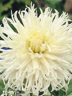 Жоржина кактусова бахромчата Tsuki-Jori-No-Shisha (1 шт) - 1