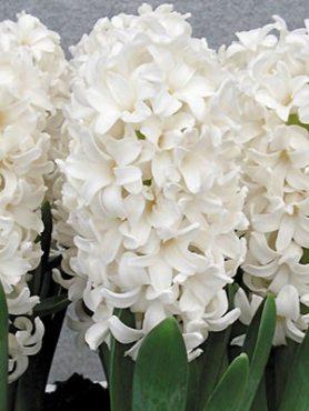 Гіацинт садовий Fairy White 1516 (100 шт)