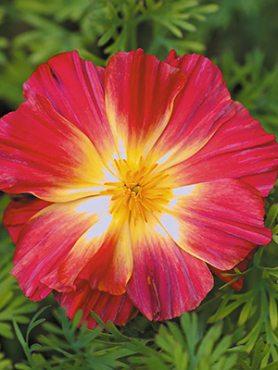 Каліфорнійський мак садовий, червоний махровий (0,1 г)