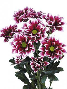 Хризантема срезочная Airco (3 шт)