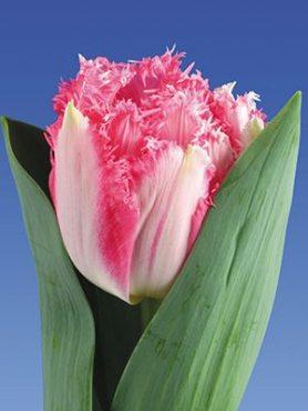 Тюльпаны Махровые Бахромчатые Crispion Love 11/12 (3 шт)