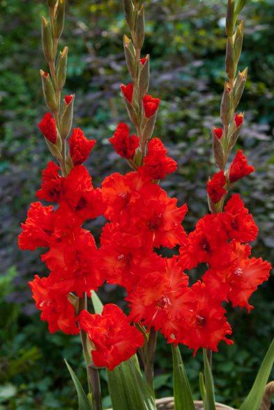 Гладиолус садовый Fire Cracker 1214 (50 шт) - 1