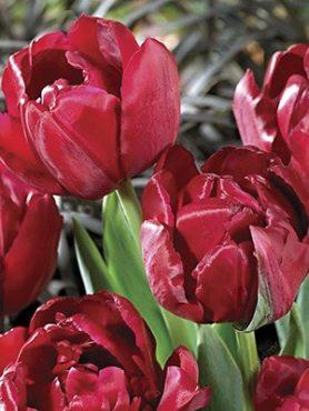 Тюльпаны Махровые поздние Antracirt 10/11 (100 шт)