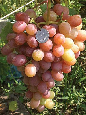 Виноград Гурман (1 шт) - 1