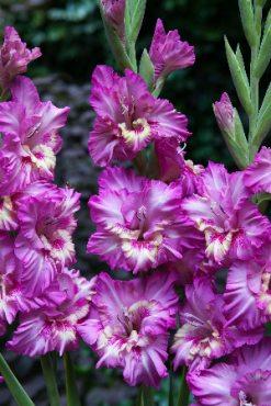Гладіолус садовий Vuvuzella Frizzle 1214 (5 шт)