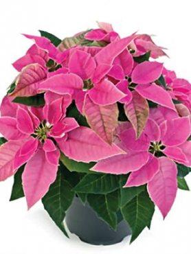 Пуансеттия прекрасная Princettia Hot Pink (1 шт)