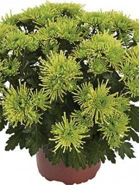 Хризантема горшечная Green Parakeet (9 шт)