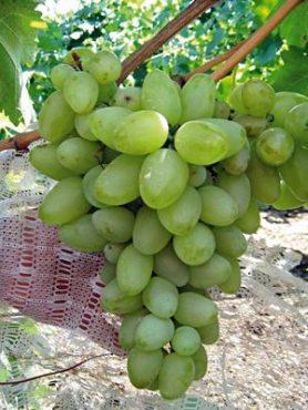 Виноград Бажена (1 шт)