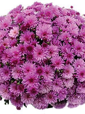 Хризантема дрібноквіткова низькоросла Branopal Purple (3 шт) - 1