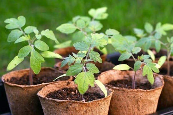Простой и надежный способ выращивания рассады