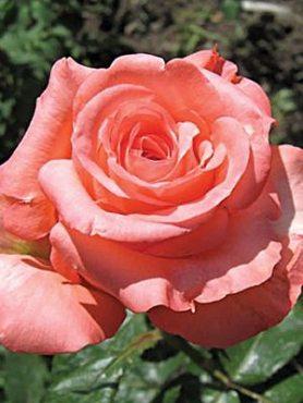 Роза чайно-гибридная Nobilis (1 шт)