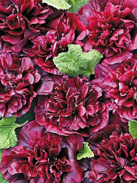 Мальва (шток-роза) Majorette, махровая коричнево-красная (10 шт)