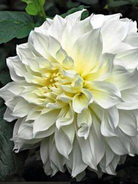 Георгина декоративная White Perfection (1 шт)
