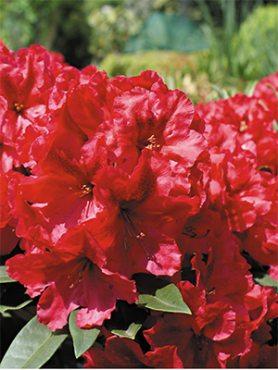 Рододендрон катевбинский Red Jack (1 шт)