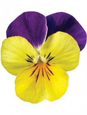 Фиалка рогатая ампельная Rebelina F1, желтая с пурпурно-синим (9 шт)